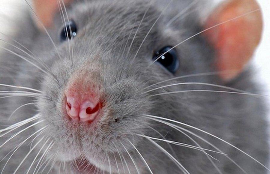 Дератизация — услуги по истреблению крыс и мышей.